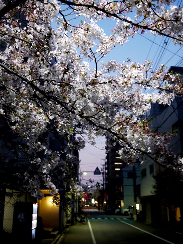 会社帰りの桜の木